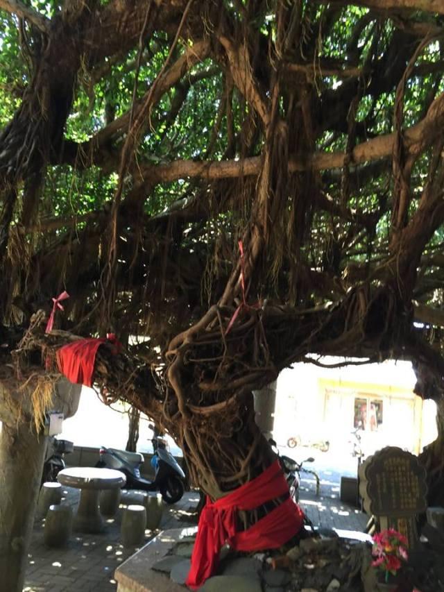ficus-tree-1